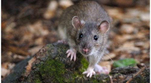 Как да използваме особеностите на плъха и мишката,  за да ги прогоним от дома си