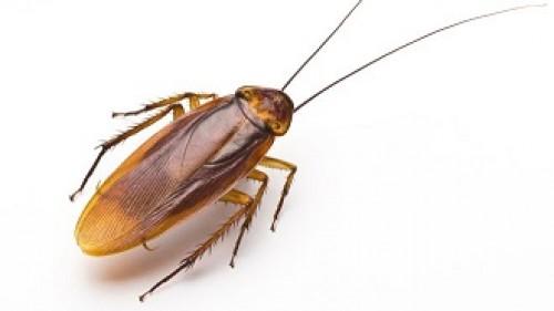 Как да изгоните хлебарките от дома си